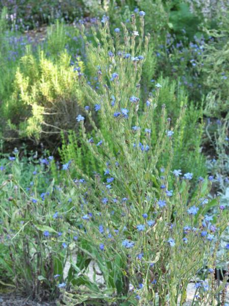 Anchusa azurea 'Loddon Royalist', Große Ochsenzunge, italienische Ochsenzunge