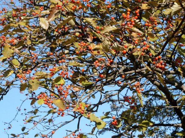Sorbus intermedia, Schwedische Mehlbeere