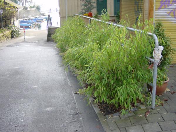 Fargesia murielae 'Bimbo', Kleiner Gartenbambus