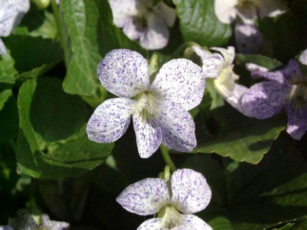 Viola sororia 'Freckles', Pfingst-Veilchen