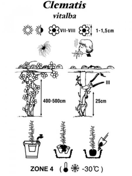 Pflanz- und Pflegehinweis für die gemeine Waldrebe