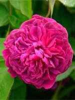 Rose William Shakespeare 2000 ® - Austin