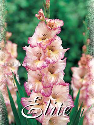 Großblumige Gladiole 'Priscilla', Gladiolus (Art.Nr. 521306)