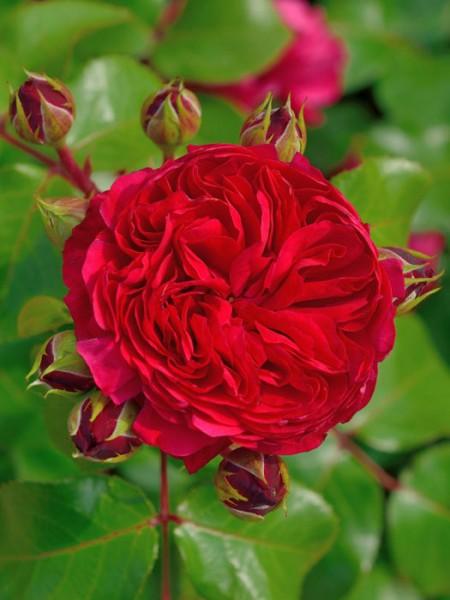 Blüte der Rose Red Leonardo da Vinci