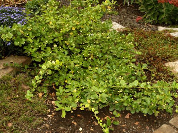 Die immergrüne Kriechspindel als Bodendecker