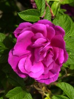 Rosa rugosa 'Hansa', Rose Hansa