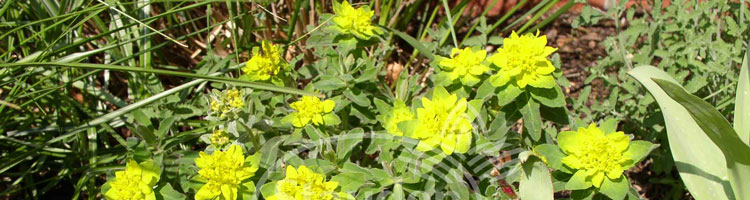 Euphorbia-kat