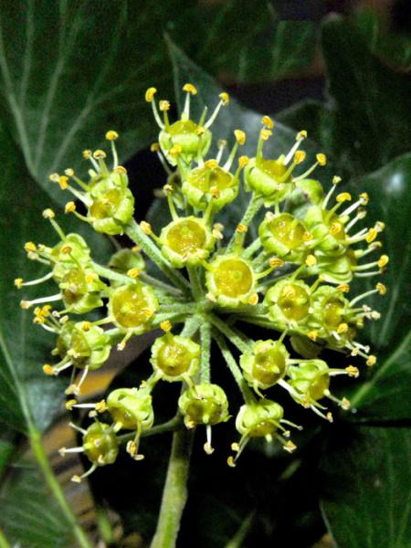 Die Blüte des gemeinen, kleinblättrigen Efeu