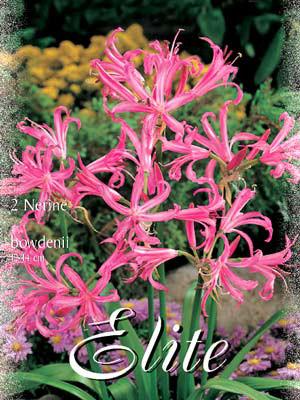 Guernsey-Lilie, Nerine bowdenii (Art.Nr. 521840)
