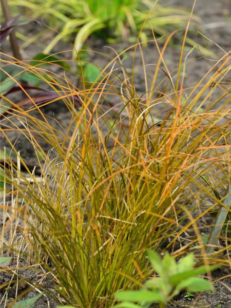 Carex testacea 'Prairie Fire', Rote Garten-Segge