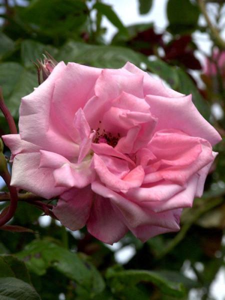Blüte der Rose Ramira
