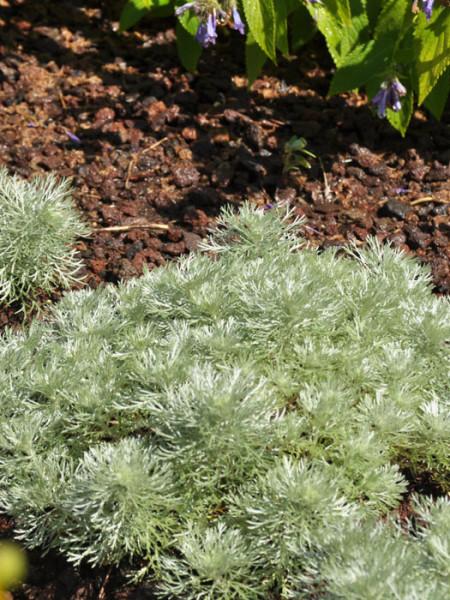 Artemisia schmidtiana 'Nana' (M), Zwerg-Silberraute, Polster-Silberraute