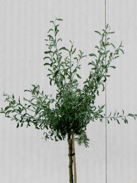 Pyrus salicifolia 'Pendula', Hängende Silberbirne - XXL-Produkt