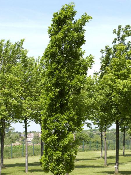 Quercus robur 'Fastigiata Koster', Säuleneiche