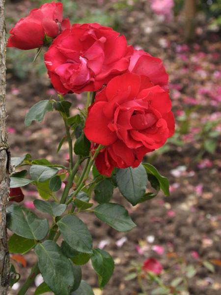Blüte der Rose Grandhotel