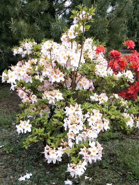 Rhododendron luteum 'Möwe', sommergrüne japanische Gartenazalee