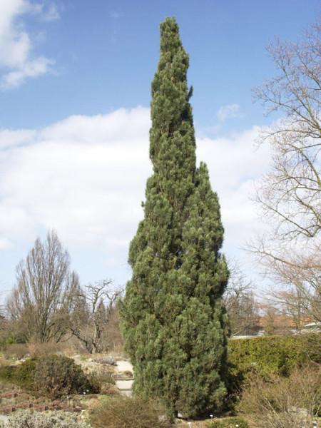 Säulen-Kiefer als Solitärpflanze im Garten