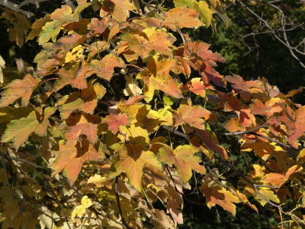 Acer pseudoplatanus, Bergahorn