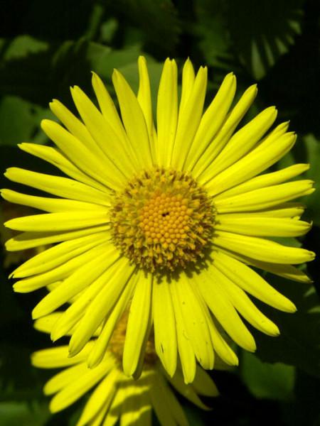 Doronicum orientale 'Magnificum', Gemswurz, Kaukasus-Gämswurz