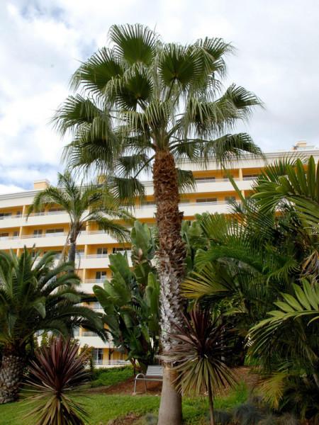 Petticoatpalme vor einem Hotel