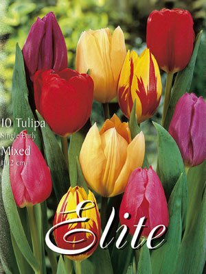 Einfache frühe Tulpen-Prachtmischung (Art.Nr. 595130)