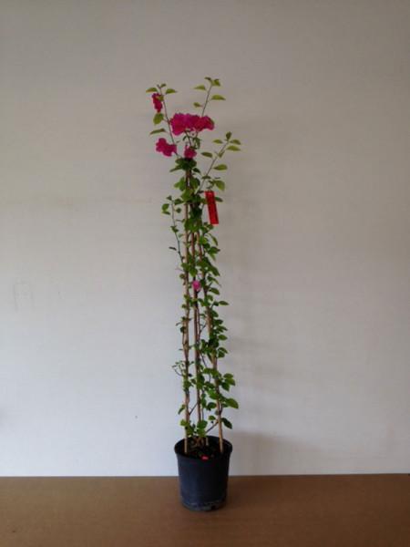 Bougainvillea Hybride 'Barbara Karst', violett-blättrige Bougainvillea
