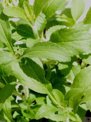 Zuckerblatt, Süßkraut, Süßblatt, Stevia rebaudiana