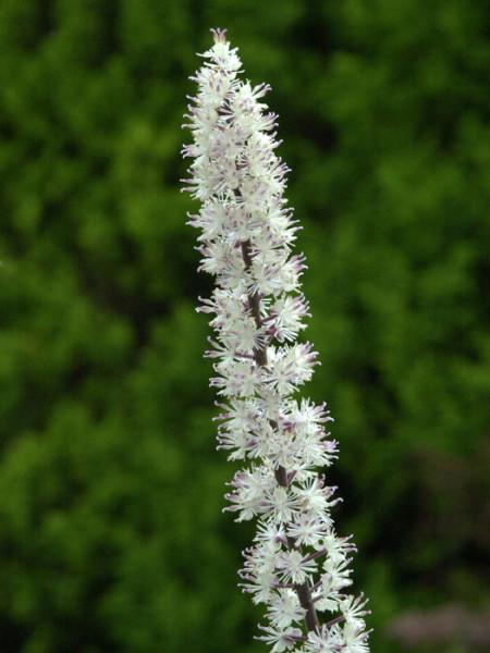 Cimicifuga ramosa 'Atropurpurea', September-Silberkerze, Trauben-Silberkerze