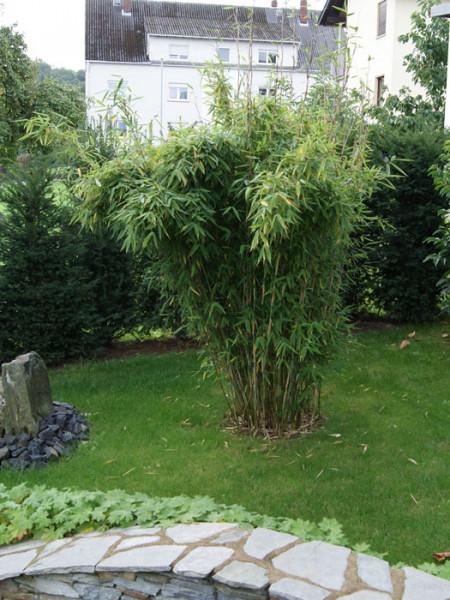 Fargesia murielae 'Standing Stone' (R), Großblättriger Schirm-Bambus