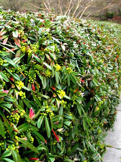 Berberis julianae, Immergrüne großblättrige Berberitze
