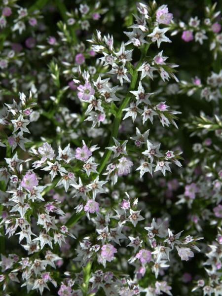 Goniolimon (syn. Limonium) tataricum, Tatarenschleier, Statice, Strandflieder
