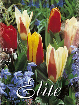Kaufmanniana-Tulpen-Prachtmischung (Art.Nr. 595850)