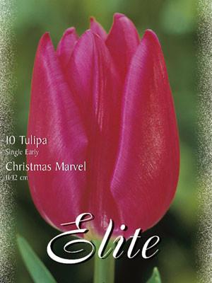 Einfache frühe Tulpe 'Christmas Marvel' (Art.Nr. 595104)