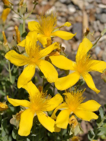 Hypericum polyphyllum 'Grandiflorum', Polster-Johanniskraut, Zwerg-Johanniskraut