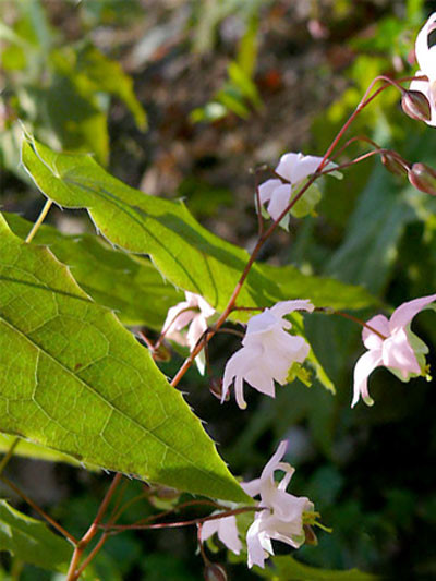 Die Elfenblume mit zarter, rosaroter Blüte