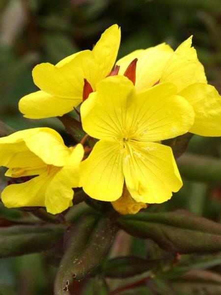 Oenothera tetragona 'Sonnenwende', Nachtkerze