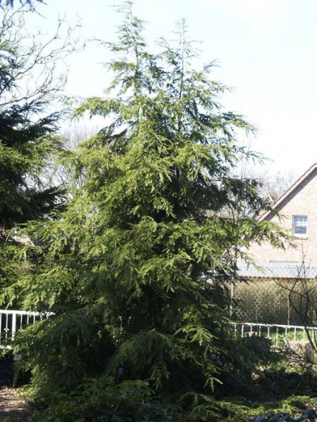 Tsuga canadensis als Gartenbaum