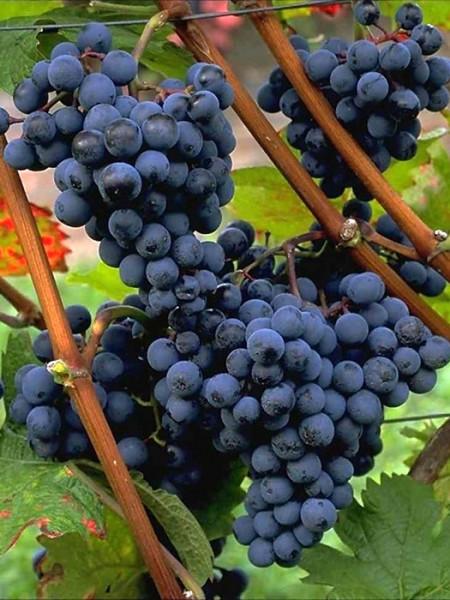 Tafel- und Weintraube Dornfelder