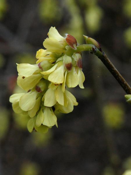 Corylopsis spicata, Ährige Scheinhasel