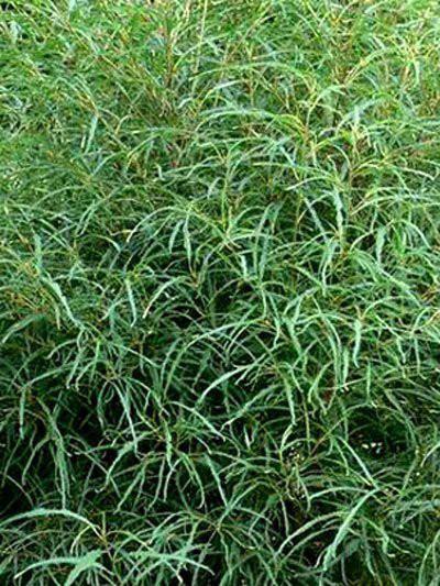 Blätter Faulbaum Asplenifolia