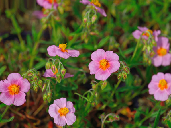 Das Garten-Sonnenröschen 'Lawrensons Pink'