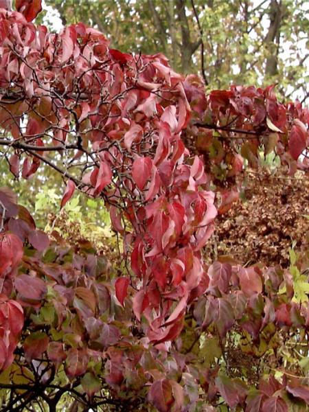 Dunkelrote Herbstfärbung der Blätter