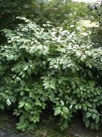 Cornus alba, Weißer Hartriegel