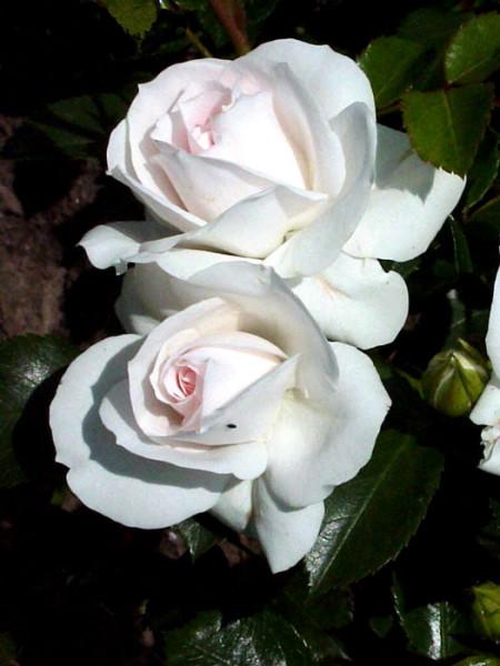 Blüte der Rose Aspirin