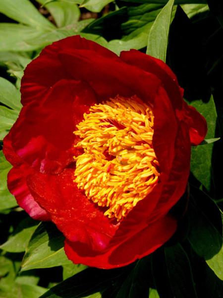 Paeonia x lactiflora 'Flame', Edel-Pfingstrose