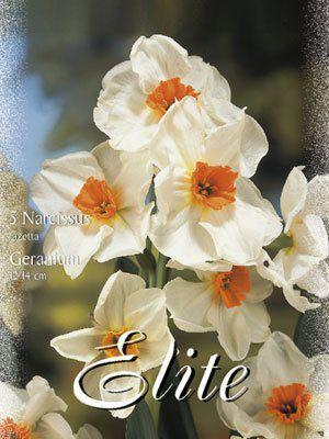 Mehrblütige Narzisse 'Geranium' (Art.Nr. 595914)
