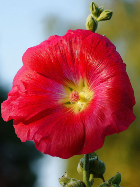 Alcea rosea 'Mars Magic' (M), Stockrose, englische Stockrose, Spotlight-Stockrose