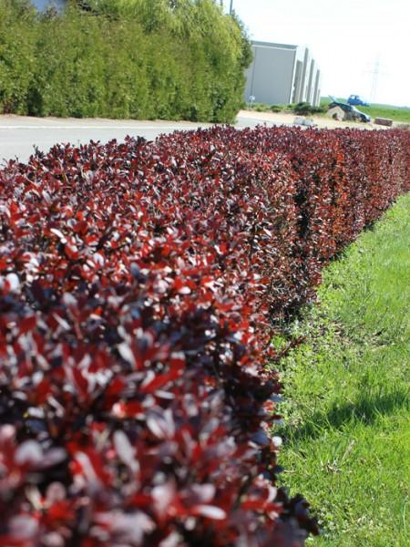Die Blutberberitze als Heckenpflanze