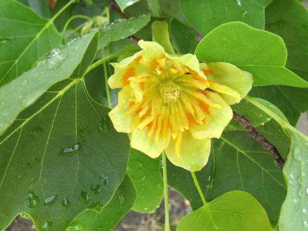 Liriodendron tulipifera, Tulpenbaum