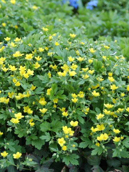 Waldsteinia geoides (M), Horstige Ungarwurz, Waldsteinie